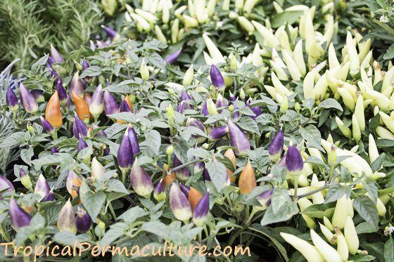 Very ornamental chilli plants, purple and cream.