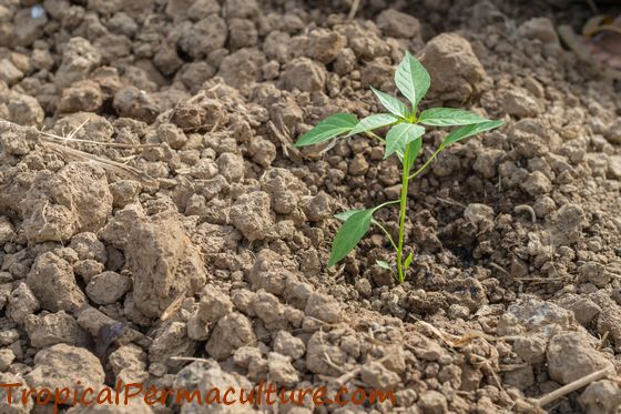 Young chilli plant growing in the ground.