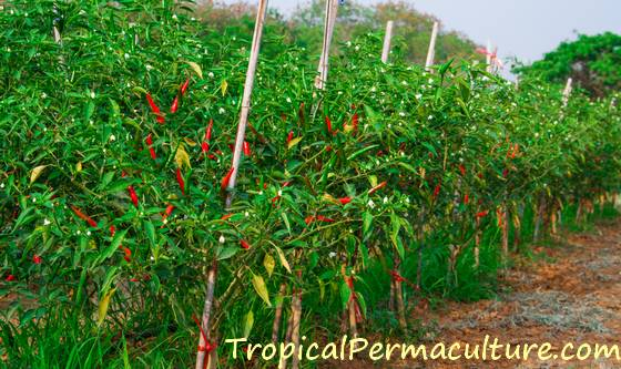 Chillies growing on a trellis.