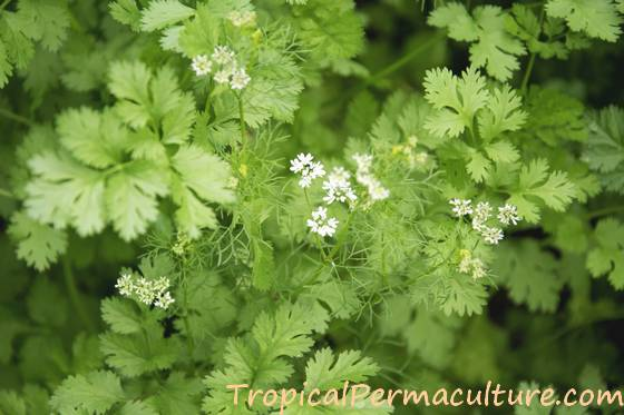 Growing Cilantro How To Grow From Seed