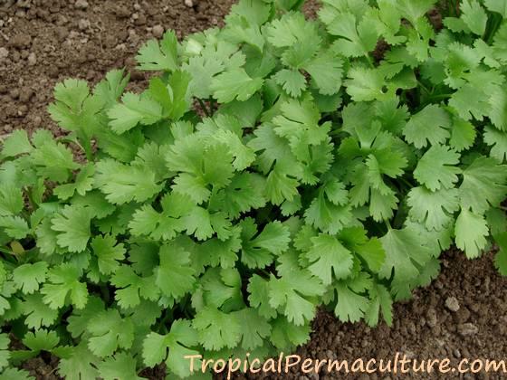 Row of cilantro seedlings