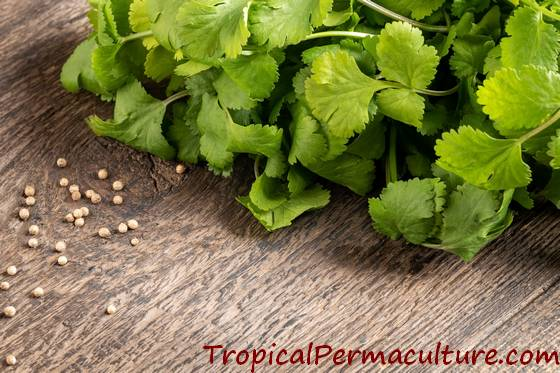 Growing coriander - seeds and leaves
