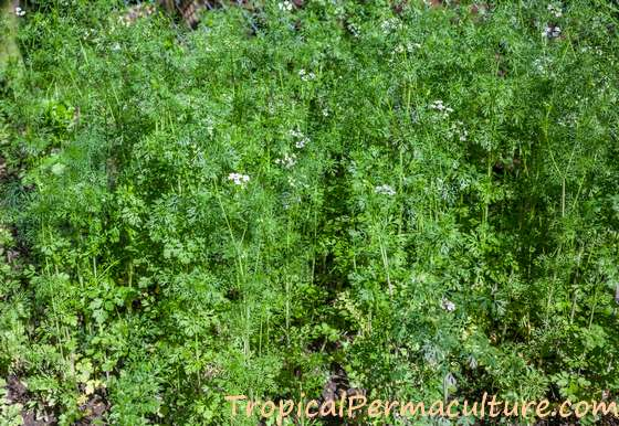 Coriander plants bolting to seed