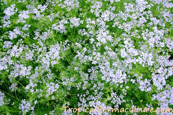 Coriander leaves and flowers