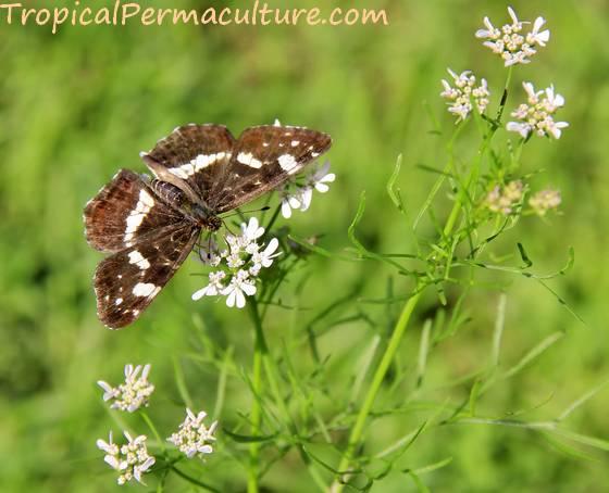 Butterfly on coriander flower
