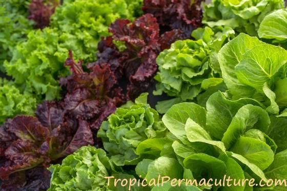 Growing lettuce in rows