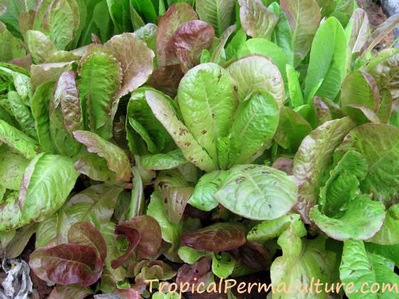 Mixed lettuce seedlings growing