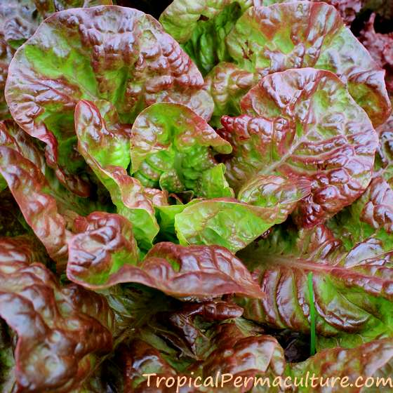 Red lettuce head