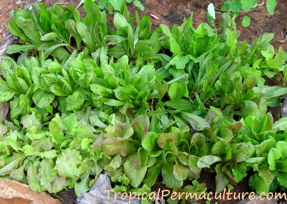 Densely growing young lettuce plants