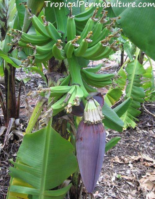 Male fingers on a growing banana bunch.
