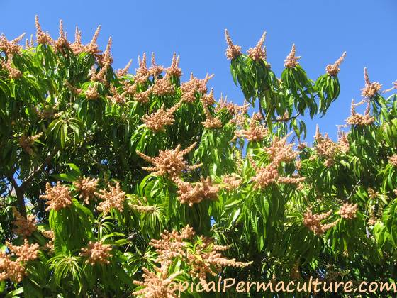 Growing Mangoes And How To Grow Mango Trees From Seed