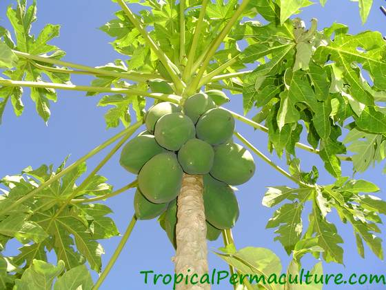 Growing Papayas