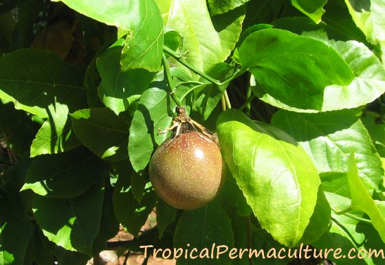 A purple passionfruit growing on the vine.