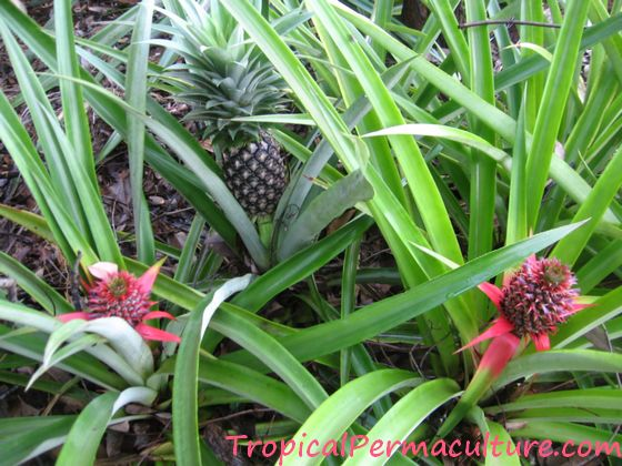 Pineapples growing in my garden.