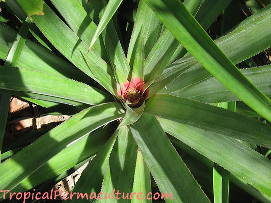 Mature pineapple plant