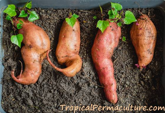 Sweet potatoes growing slips