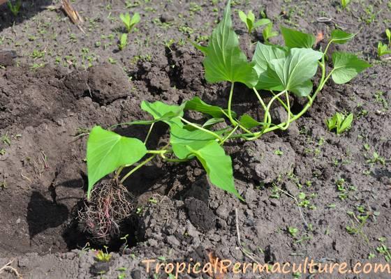 Growing a sweet potato cutting