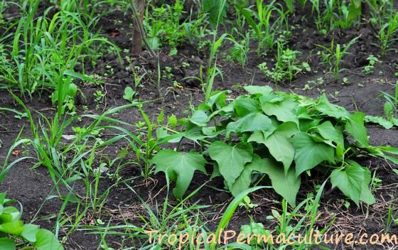 New sweet potato vine