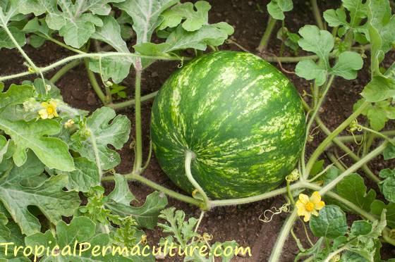 Growing watermelons.