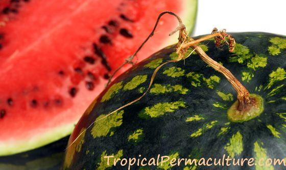 Ripe watermelon with dried up stem.