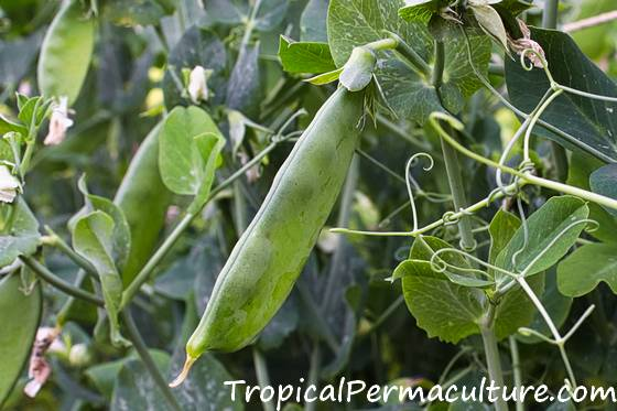 Beans on the plant