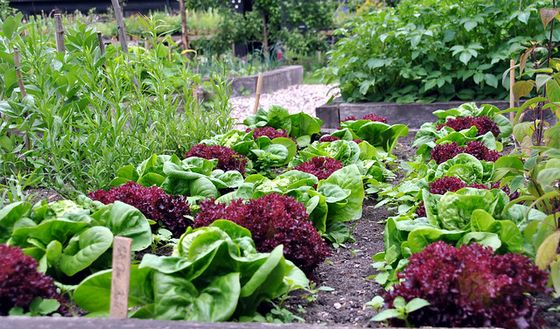 Colourful lettuce garden.