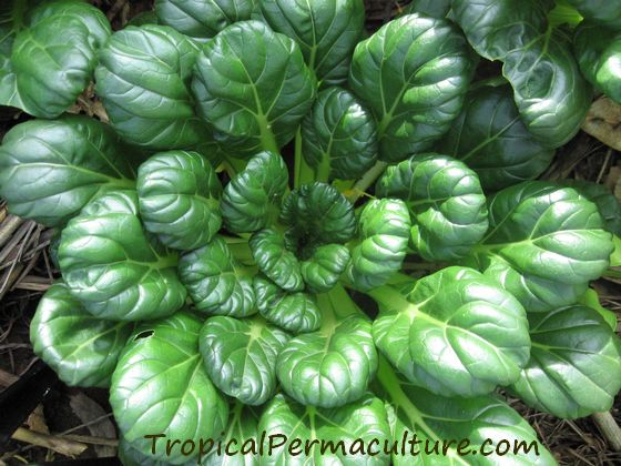 Tatsoi must be grown in permaculture zone 1!