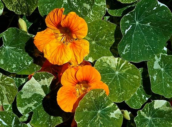 Nasturtium flowers and leaves.