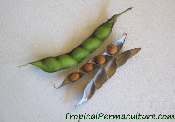 Green and dry pigeon pea seed pods