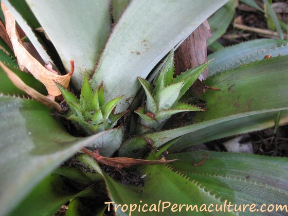 Young pineapple suckers growing