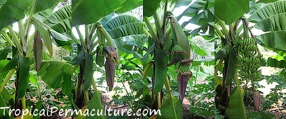 A growing banana flower.