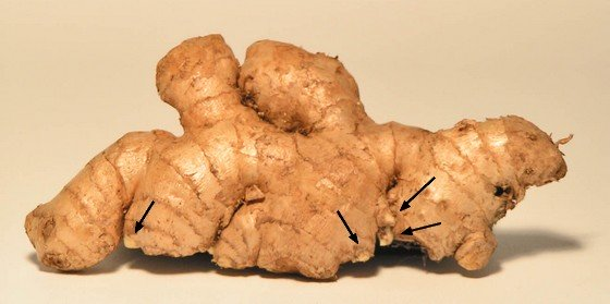 A ginger rhizome with buds, the growing points.