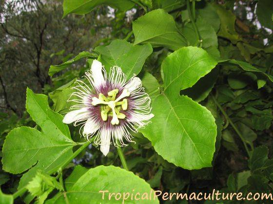 How To Grow Passion Fruit By Growing Passionfruit Seeds