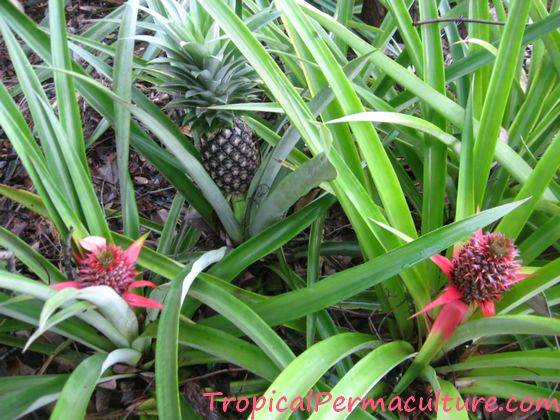 How To Grow Pineapples Growing Pineapples Is Ridiculously Easy