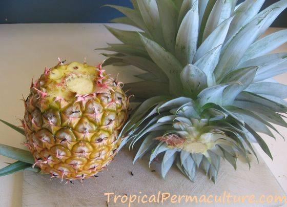 ananas tre