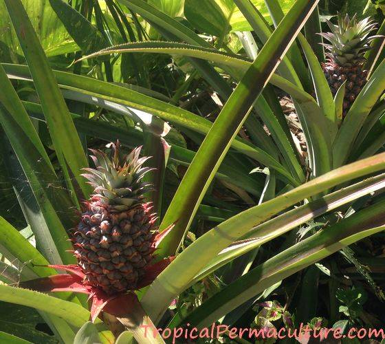 Pineapple Growing Propagation Planting And Care