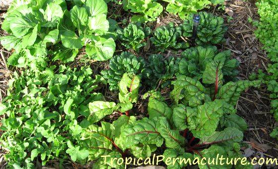 Growing Tropical Vegetables - Growing Vegetables In The Tropics